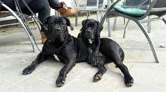 CANE CORSO Cane Corso Italian Mastiff, Cane Corso Mastiff, Kane Korso, Cane Corso Kennel, Black Pitbull, Two Dogs, Pet Stuff, Canes, Best Dogs
