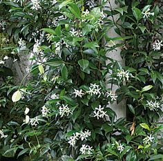 1000 images about vines on pinterest passion flower clematis and morning glories. Black Bedroom Furniture Sets. Home Design Ideas