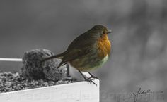 Intro's, Our New Friend Robin s3-bw (final) by Fadel Galal on 500px