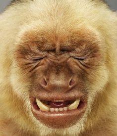 Jill Greenberg- wince, monkey portrait