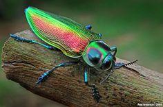 Metalic Wood-boring Beetle by Paul Bratescu on 500px