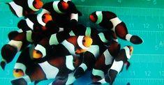 Clownfish Live for Sale Online Marine Aquarium Fish, Saltwater Aquarium Fish, Live Aquarium Fish, Marine Fish, Fish Stock, Clownfish, Live Fish, Tanked Aquariums, 1 Live