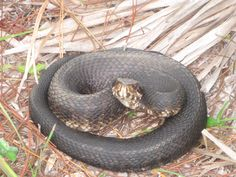 Venomous Water Moccasin aka Cotton Mouth found near St Augustine Florida. I was psyched as it was one I've been wanting to see for sometime.