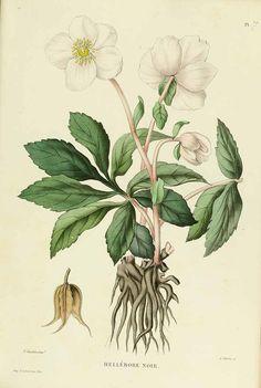 Helleborus niger L. [as hellébore noir] Christmas rose Gourdon, J., Naudin, P., Nouvelle iconographie fourragère, Atlas, p. 12, t. 7 (1865-1871) - FREE PRINTABLE LARGE SIZE