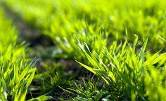 Gerstengras - Prädikat: bestes Lebensmittel