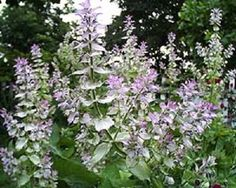 It can be used for rockery garden, mass planting, containers and borders. This does NOT apply to SEEDS. Sage Herb, Sage Plant, Rockery Garden, Herb Garden, Garden Beds, Landscape Nursery, Clary Sage Essential Oil, Missouri Botanical Garden, Herbs For Health