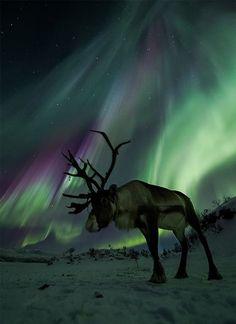 Les rennes, ou caribou au Canada, sont des animaux assez méconnus. Souvent associés aux périodes de fêtes d'hiver, ils seraient les livreurs privilégiés des cadeaux du Père Noël. Ce sont des animaux pacifiques aux couleurs brunes ou blanches possédant un large museau et d'impressionnantes cornes. Les rennes sont des animaux robustes pouvant peser jusqu'à 180 kg et mesurer jusqu'à 1m30.