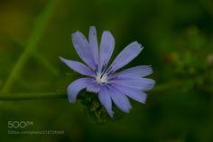 Cichorium intybus flower -