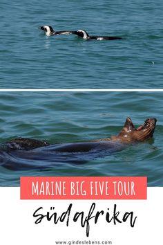 Südafrika Marine Big Five Tour und Käfigtauchen mit dem Weißen Hai. Eines der Highlights im Grootbos Private Nature Reserve in Südafrika ist die Marine Big Five Tour mit den großen 5 der Unterwasserwelt. Zu den Marine Big Five gehören folgende Tiere: Wale, Robben, Haie, Pinguine und Delfine. Grootbos Private Nature Reserve, ein wundervolles Luxusresort zwischen Kapstadt und der Garden Route. www.gindeslebens.com #MarineBigFive #BigFive #Südafrika #Robben #Wale #Delfine #Haie #Pinguine Garden Route, Koh Tao, Nature Reserve, Places To Go, Highlights, Tromso, Tours, Gin, Travel
