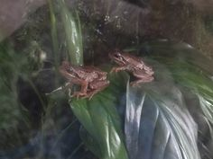 New Zealand whistling tree frog