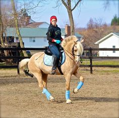 WinterLake Tristian - Welsh Pony Dressage Stallion