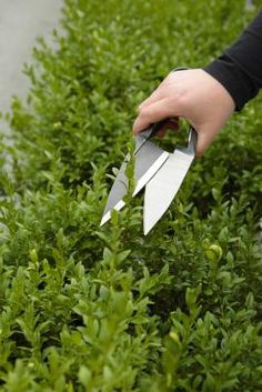 When to Prune a Boxwood Shrub