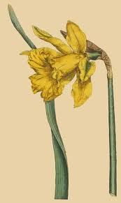 To celebrate my Welsh heritage...daffodils are the national flower of Wales.