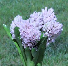 Hyacinth light pink