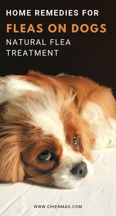 best 25 natural flea remedies ideas on pinterest dog flea remedies flea remedies and cat. Black Bedroom Furniture Sets. Home Design Ideas