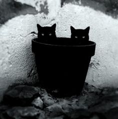 black and white, black cat, black cats, cat, - image on . Crazy Cat Lady, Crazy Cats, Cool Cats, Gatos Cool, Photo Chat, Beautiful Cats, Cat Art, Cats And Kittens, Funny Cats