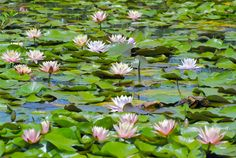 lilies on pond | Lily Pond