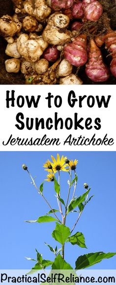 How to Grow Sunchokes (Jerusalem Artichoke) – Grow Forage Cook Ferment – Join the world of pin Growing Tomatoes, Growing Vegetables, Perennial Vegetables, Organic Gardening, Gardening Tips, Vegetable Gardening, Veggie Gardens, Growing Jerusalem Artichoke, Artichoke Plants