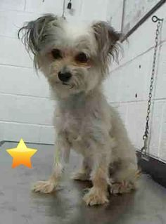 PEBBLES (A1701709) I am a female cream Maltese mix. The shelter staff think I am about 2 years old. I was found as a stray and I may be available for adoption on 06/03/2015. Miami Dade https://www.facebook.com/urgentdogsofmiami/photos/pb.191859757515102.-2207520000.1433001501./984716674896069/?type=3&theater