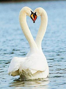 Faithful lovebirds, no swan wants to go wandering