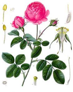 Старый гербарий - Лекарственные растения Кёлера