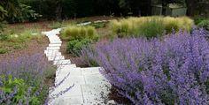 Nepeta Faassenii Walker's Low in Ábaton gardens