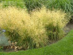 Tufted Hair Grass http://pics.davesgarden.com/pics/2007/07/20/willmetge/73e8a6.jpg