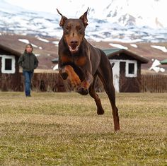 The Guardian #Dobermanpinscher #Doberman