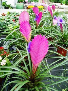 Kykatka,Tilandsie | Tillandsia lindenii: pěstování