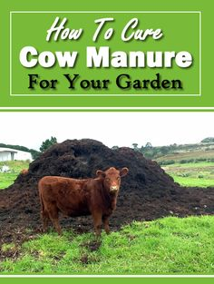 It smells really bad, but at the same time it is really good for your garden. We have already covered how to compost chicken manure as well as how to cure horse Horse Manure, Cow Manure, Garden Soil, Raised Garden Beds, Composting 101, How To Make Compost, Fall Vegetables, Organic Gardening, Vegetable Gardening