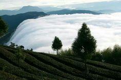 武界茶園的雲瀑下午茶,美麗驚艷得讓人忘記塵囂。南投仁愛鄉法治村,20130430。