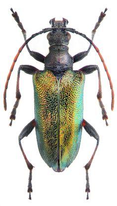 Gaurotes (Patragaurotes) ussuriensis
