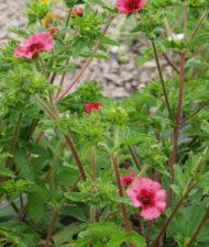 Potentilla nepalensis - nepalinhanhikki