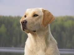 Labrador Retriever: See pictures and learn about its size, personality, health, costs of ownership, and more.