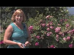 Rose Gardening Learning how to care for Knockout Roses is very easy. They are designed to tolerate heat and are hardy and durable. - Learning how to care for Knockout Roses is very easy. They are designed to tolerate heat and are hardy and durable. Propogate Roses, Pruning Knockout Roses, Rose Cuttings, Rose Trees, Simple Rose, Growing Roses, Planting Roses, Rose Bush, Bulb Flowers