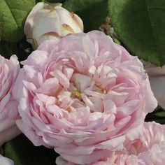 ros Duchesse-de-Montebello
