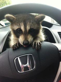 RIjdende wasbeer. | Roteur laveur derrière le volant.