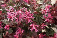 Loropetalum - This plant is fairly easy to grow and maintain, pruning is only necessary when trying to maintain the size of the plant. It grows best in direct or partial sun light. Loropetalums can grow to be pretty large, up to 20 feet tall. But, the plant can be maintained to smaller sizes.