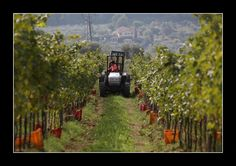 Elisabetta Galardi on the farm tractor during the grape-harvest