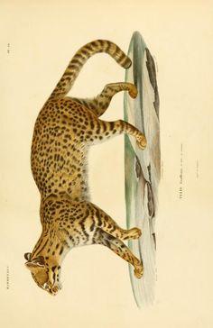T.9 - Voyage dans l'Amérique Méridionale - Biodiversity Heritage Library - Geoffrey's Cat