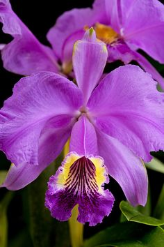 Cattleya pink orchid flower blooming plant nature natural colors indoor garden hot house growing