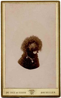 Poodle portrait | Flickr - Photo Sharing!