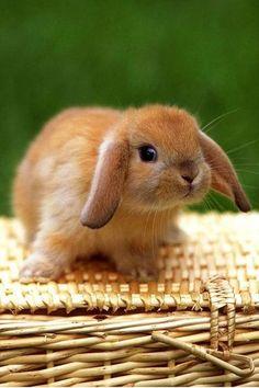 Baby bunny on a wicker picnic basket. - http://animalfunnymemes.com/?p=200