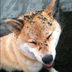 Dirty Shiba! Having fun