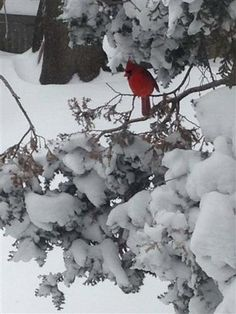 Vote for this photo of a cardinal in the snow for the Southcoast Feathered Friend Photo Contest!