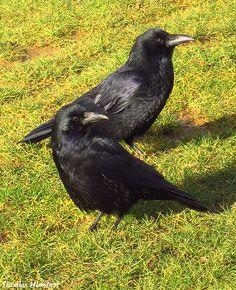 Deux adorables corneilles. <3  Carrion crow by Thomas Humbert