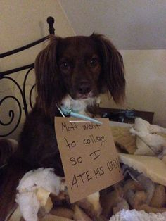 """""""Matt went to college so I ate his bed!"""" My son left for college and Talullah acted out by eating his bed!"""