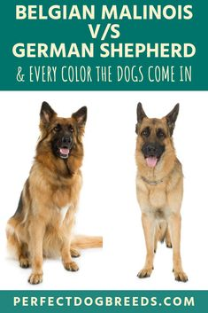 Belgian Malinois vs German Shepherd: Everything You Need to Know German Shepherd Colors, Sable German Shepherd, White Swiss Shepherd, German Shepherds, German Shepherd Temperament, Belgian Malinois Puppies, Most Popular Dog Breeds, Dog Training Tips, Dog Comparison