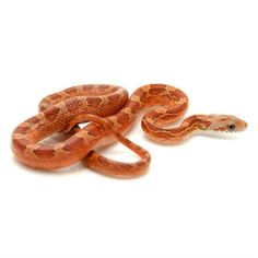 Blood Red Corn Snakes for sale (Pantherophis guttata) Corn Snakes For Sale, Cute Snake, First They Came, Reptiles, Blood, Shadow Dragon, Sunset, Noodles, Bb
