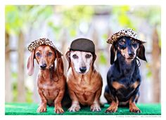 Celebrating with dachshunds